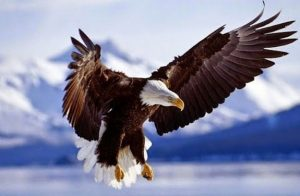 fakta unik burung elang