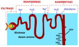 3 tahapan proses pembentukan urine