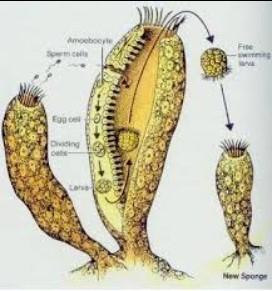 perkembangbiakan vegetatif pada hewan