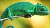 bunglon, spesies kadal unik