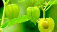 manfaat tanaman ciplukan untuk obat stroke