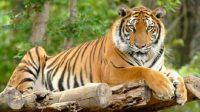 fakta unik harimau