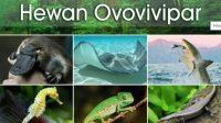 Fakta unik kadal hewan ovovivipar
