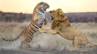 fakta unik tentang harimau