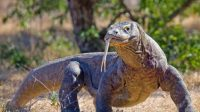 komodo spesies kadal terbesar
