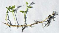 perkembangbiakan vegetatif dengan rizoma